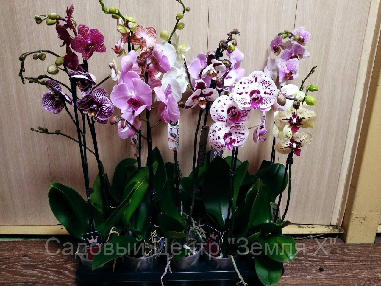 a1508b050 Орхидея, цена 235 грн., купить в Одессе — Prom.ua (ID#270829305)