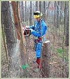 .Спиливание деревьев с помощью оттяжки лебедкой, фото 2
