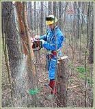 Спиливание деревьев с помощью оттяжки лебедкой, фото 3