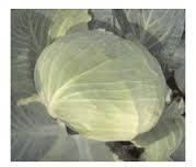 Семена капусты Отм Квин 2500 с Autumn Queen