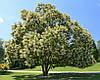 Софора японська 1 річна, Софора японская, Styphnolobium japonicum, фото 3