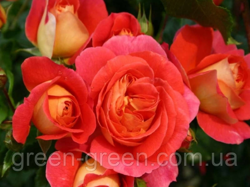Роза Kordes Gebruder Grimm