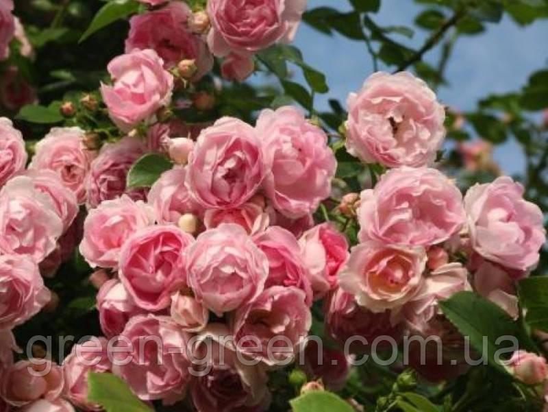 Роза Kordes Jasmina (плетистая)