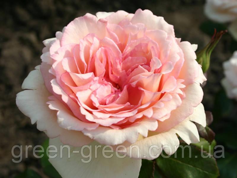 Роза Kordes Souvenir de Baden-Baden