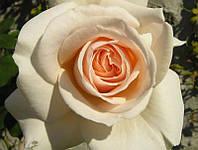 Роза Английская Penny Line