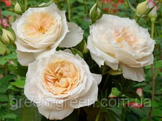 Роза полиантовая Avenue Lions
