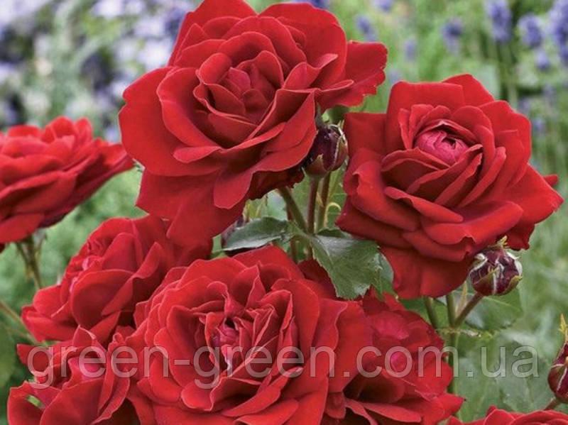 Роза полиантовая Avenue Red