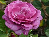 Роза плетистая Violette Parfume