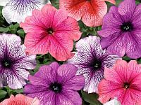 Петуния крупноцветковая Виртуоз Berry Mixed 10шт.