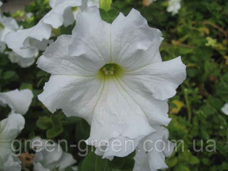 Петуния крупноцветковая Виртуоз White 10шт.