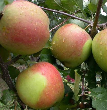 Саженцы яблони Бени Шогун, фото 2