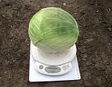 Центурион F1 2500 шт семена капусты Clause Франция, фото 2