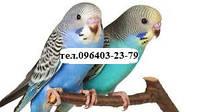 """Волнистые попугайчики, уход и рекомендации ветеринаров ветлечебницы """"Мурзик""""."""