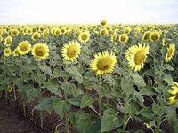 Семена подсолнечника Оливер. Нови Сад (Сербия)