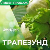 """Саженцы ореха фундук сорт """"Трапезунд"""" контейнер 3 л."""
