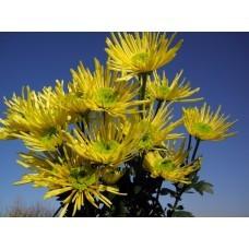 Хризантема Анеси лимонная