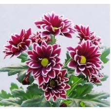 Хризантема Вискоза