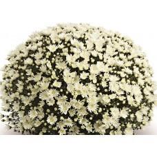 Хризантема Изольда белая