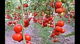 Кристал F1 семена томата высокорослого Clause Франция 1 г, фото 4
