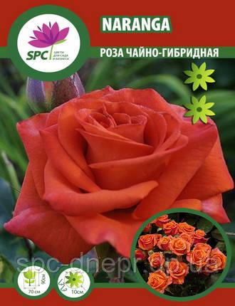 Роза чайно-гибридная Naranga