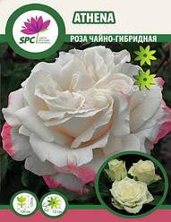 Роза чайно-гибридная Anteha