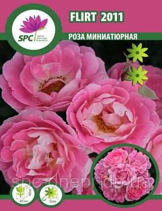 Бордюрные саженцы роз, спрей Flirt 2011
