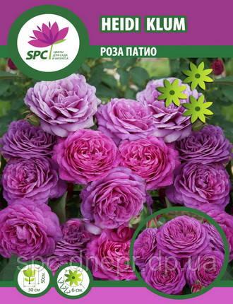 Роза патио Heidi Klum