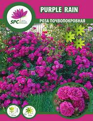 Роза почвопокровная Purple Rain