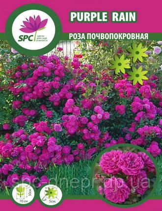 Роза почвопокровная Purple Rain, фото 2
