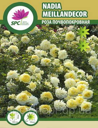 Роза почвопокровная Nadia Meillandecor, фото 2