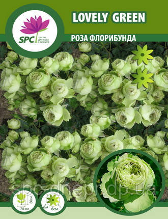 Роза флорибунда Lovely Green