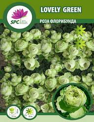 Роза флорибунда Lovely Green
