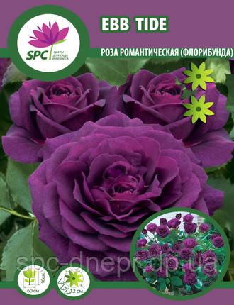 Роза флорибунда Ebb Tide, фото 2