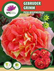Роза флорибунда Gebruder Grimm