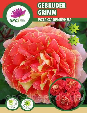 Роза флорибунда Gebruder Grimm, фото 2