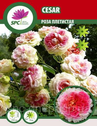Роза плетистая Cezar, фото 2