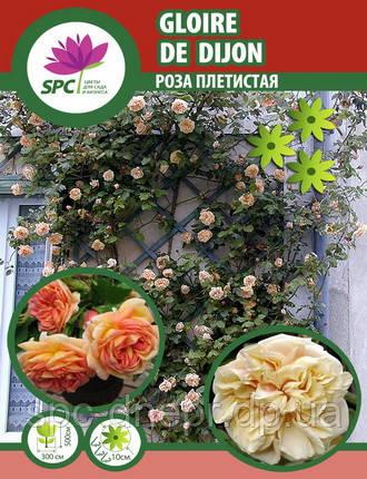 Роза плетистая  Glorie de Dijon, фото 2
