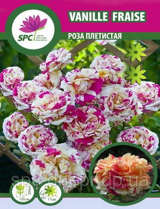 Роза плетистая  Vanille Fraise, фото 2