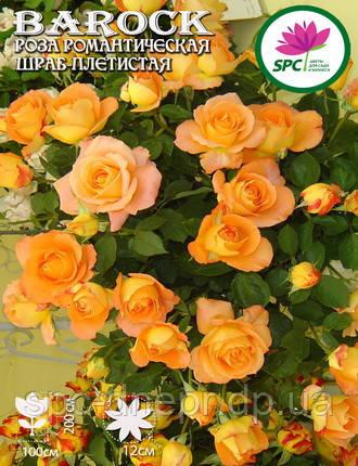 Роза плетистая Barock