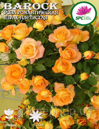 Роза плетистая Barock, фото 2