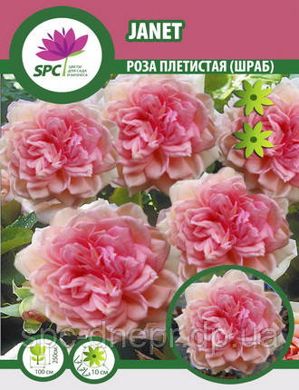 Роза плетистая Janet
