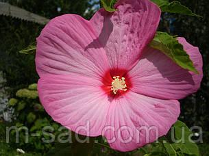 Гибискус травянистый розовый, фото 2