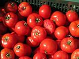 Бобкат F1 насіння томату низькорослого Syngenta Голландія 1000 шт, фото 3