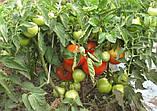 Бобкат F1 насіння томату низькорослого Syngenta Голландія 1000 шт, фото 4