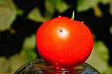 Каста(Супернова) F1 1000 шт семена томата низкорослого Clause Франция, фото 3