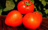Каста(Супернова) F1 1000 шт семена томата низкорослого Clause Франция, фото 4