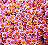 Хризантема шаровидная МОДЕНА, фото 2