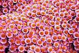 Хризантема шаровидная МОДЕНА, фото 3