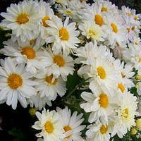 Хризантема корейская МАМИНЫ ГЛАЗА, фото 1