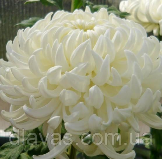Хризантема крупноквіткова срезочная біла Газель